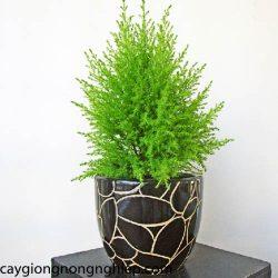 cay-tung-thom