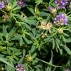 giong-co-alfalfa